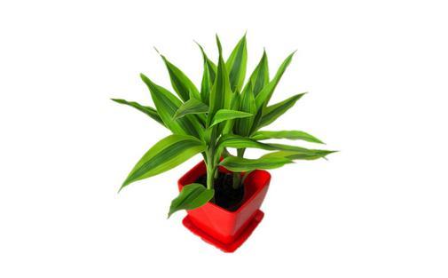 水培富贵竹叶子发黄的原因