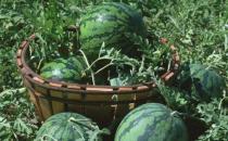 如何把西瓜变成花肥呢?