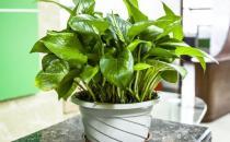 水养绿萝的养护方法