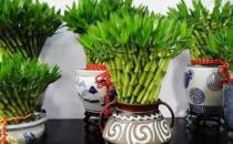 富贵竹这么养才长得旺盛