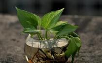 家庭盆栽观叶植物的介绍