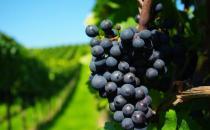 夏天7个方法 教你挑选好葡萄
