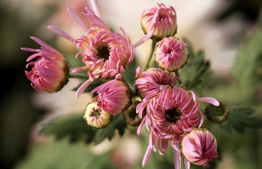 阿尔泰多榔菊