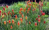 火炬花的种植方法和养护方法