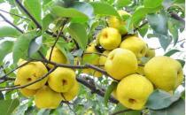 老人吃3种水果能养生
