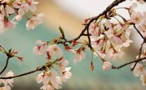 武汉大学来赏樱花 让青春放肆的飞扬!