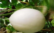 香瓜的食用禁忌 吃香瓜要注意哪些