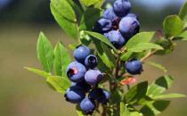 哪些人群不适合吃蓝莓