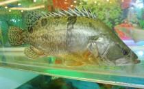 鳜鱼的营养价值 鳜鱼的功效与作用