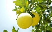 柚子有什么营养价值?
