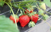 选购新鲜草莓的技巧