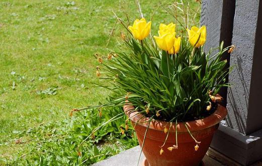 盆栽郁金香的种植方法