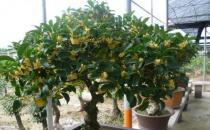 盆栽桂花的养殖方法