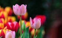 家养郁金香茎短花小是啥原因?