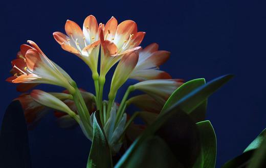 家里养什么花能够让人长寿