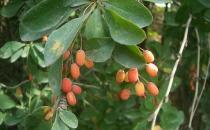 黑果小檗的功效与作用 药用价值