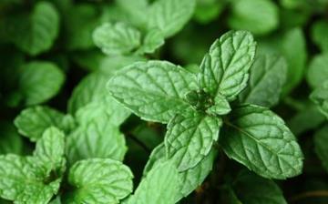 【驱蚊植物】驱蚊植物有哪些_驱蚊植物有用吗_驱蚊花草_驱蚊植物排行榜