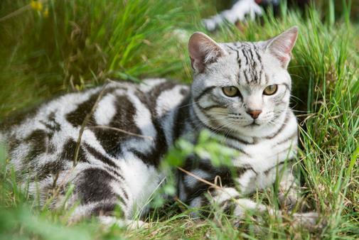 调教美国短毛猫的正确方法是什么