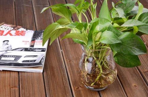 水培植物的养护技巧 养护水培植物的注意事项
