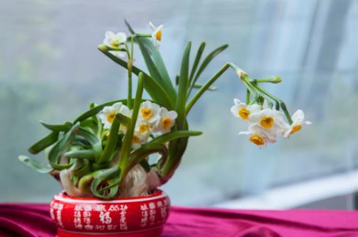 水仙花的正确养护方法 养水仙花的注意事项