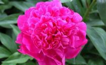 芍药花一年四季的养护方法 芍药花养护好花朵才能大