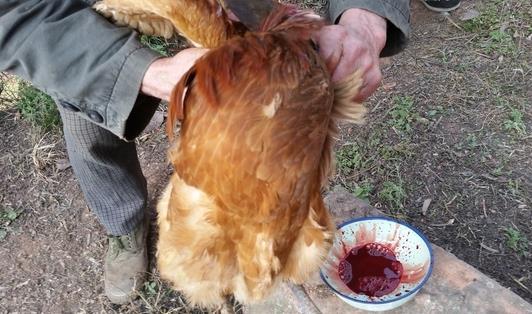 杀鸡快速简单拔毛方法