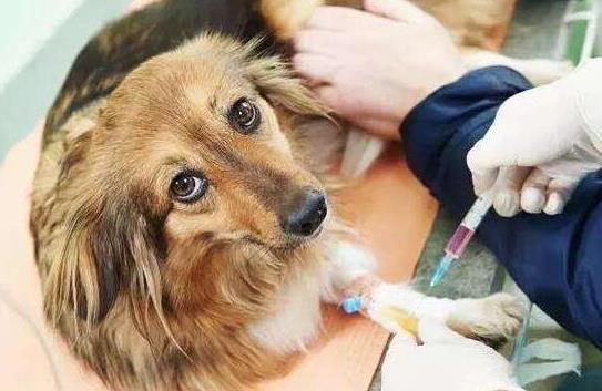 狗狗打针多少钱一针 给狗狗打疫苗要注意的事项