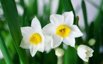 水仙花有毒吗 水仙花能放在卧室内吗