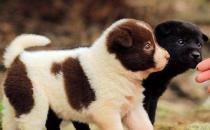 正确喂养幼犬的方法及养狗一些注意事项