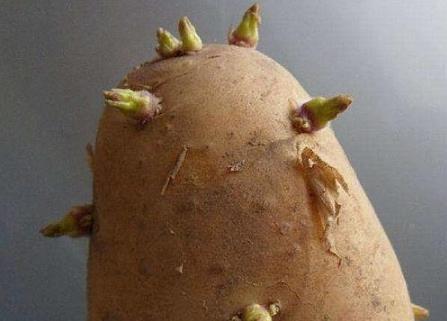 土豆长芽后真的有毒 谨防土豆变青发芽后龙葵素中毒