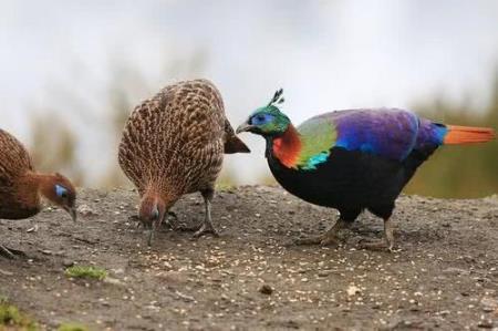 尼泊尔国鸟九色鸟棕尾虹雉 中国一级保护动物