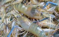 虾营养丰富且肉质鲜美 挑选新鲜好虾的窍门