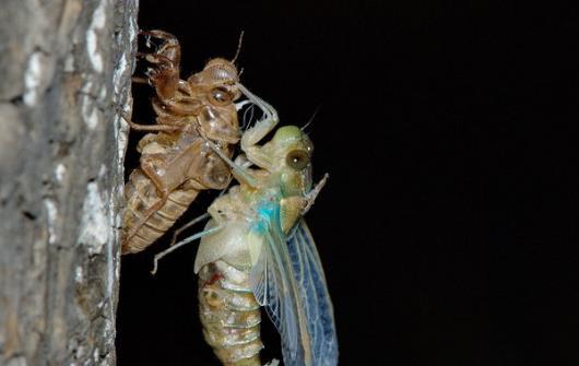 享用美味金蝉的同时 避免破坏生态环境的建议