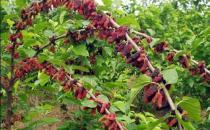 桑属于最常用的中草药之一 桑树各部分的药用价值