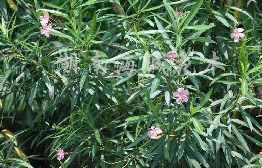 致癌植物知多少 和有毒植物打交道的窍门