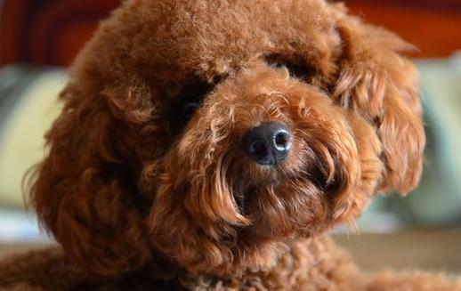 泰迪犬小巧可愛萌化內心 養泰迪必須具備的條件