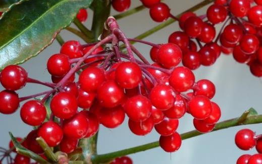 家庭养花 富贵籽养植技术分享