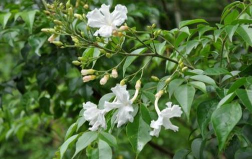 家庭养花 幸福树的养护及叶子变黄解决办法