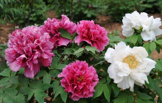 让盆栽牡丹安全度夏 夏季管理应做好三防