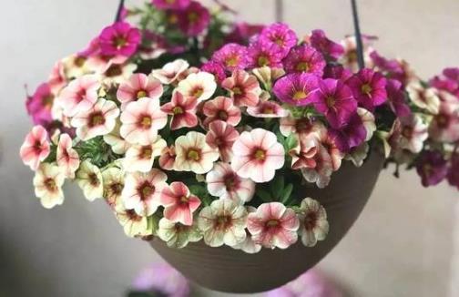 城市家庭露台阳台养花 养护要点和注意事项