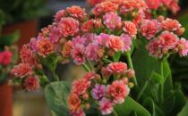 在家想养花就选这3种 开花长达100天