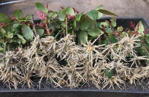 生根剂不用买,水里撒点它们,多蔫的枝条,插个根就能活