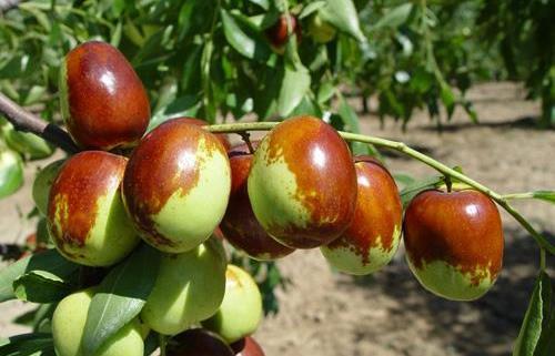 枣子的营养价值 食用枣子的禁忌