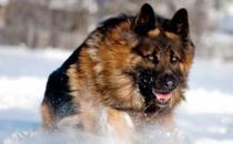 猛犬中的假货揭秘 猛犬中的三大护卫巨头