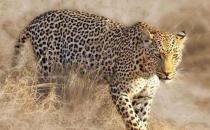 豹子的家族成员多种多样 原来豹子还分这么多类型