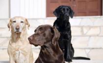 拉布拉多犬AKC标准揭秘 快来看看你家宝贝品种纯不纯
