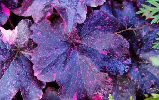浪漫的紫色盆栽观赏植物大盘点 叶片比花朵还要好看
