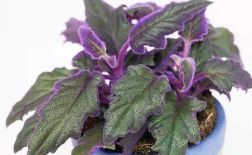 种浪漫的紫色盆栽观赏植物,叶片比花朵还要好看