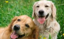 夏天狗狗是否能吃西瓜 科学喂养让狗主子健康度夏