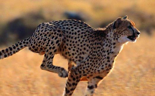 豹子小身軀有著大能量 關于豹子的冷知識